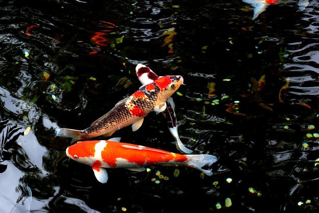 Animales de Japón, la carpa