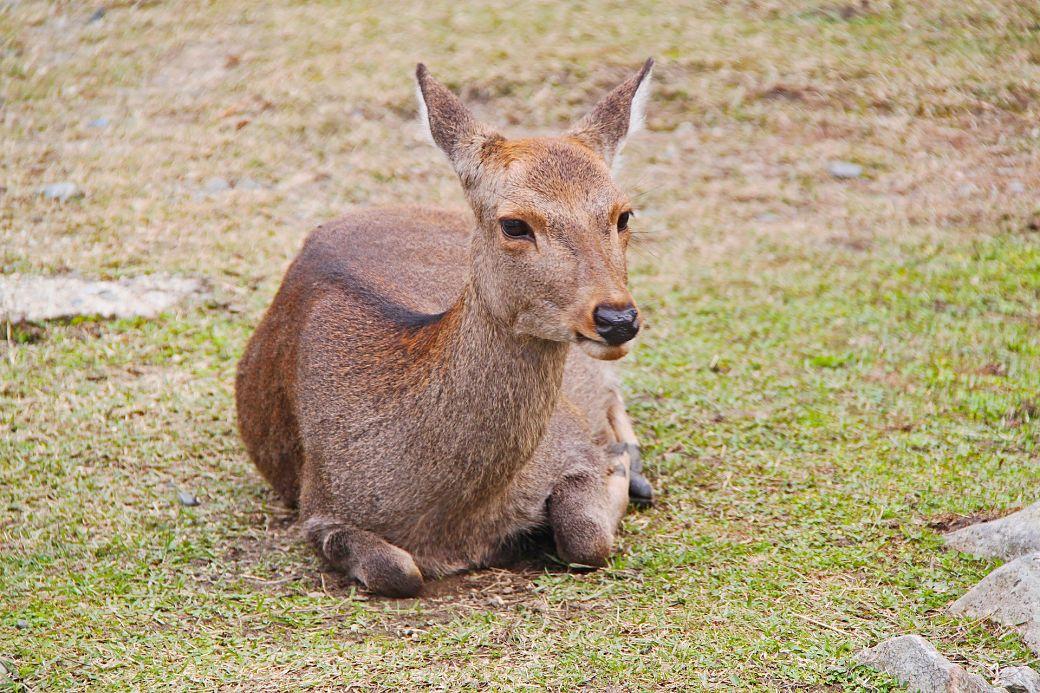 Animales de Japón, el ciervo o sika