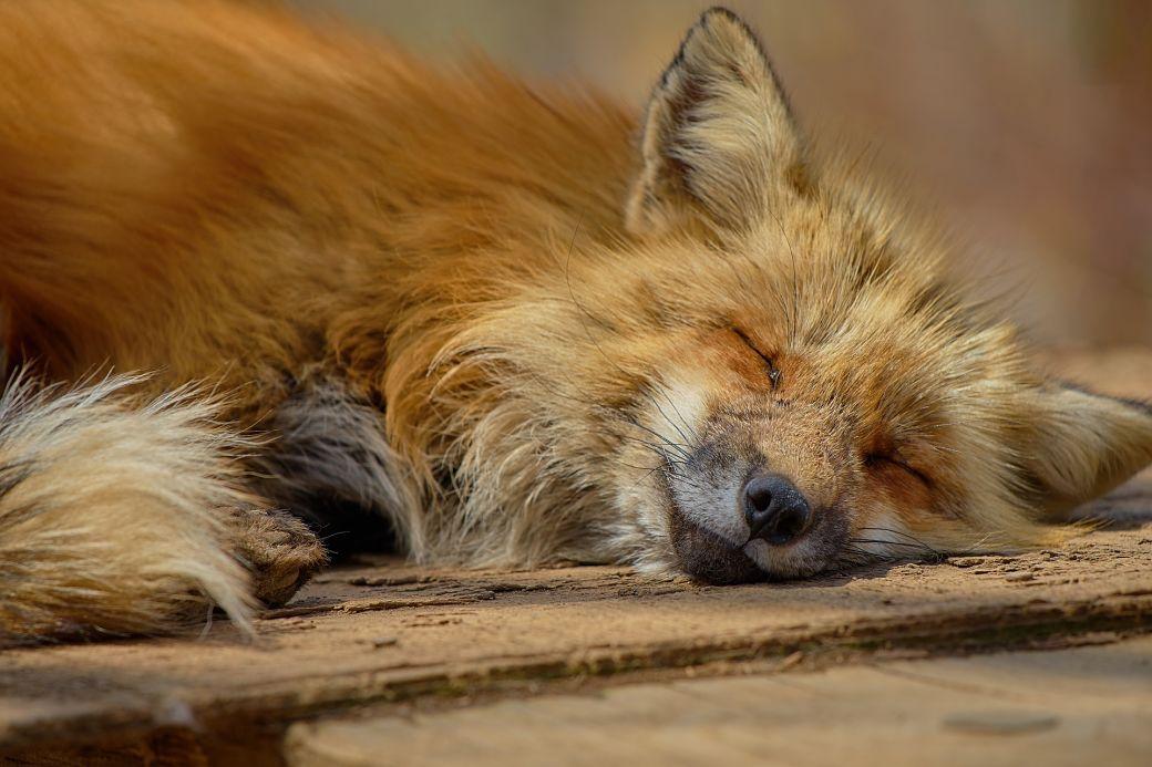 Animales de Japón, el zorro