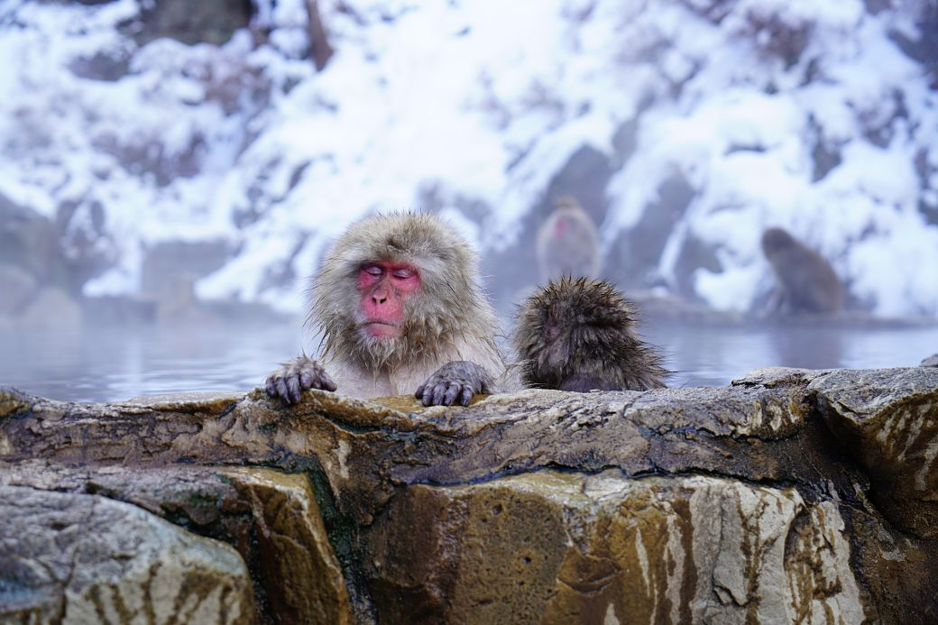 Animales de Japón, macaco