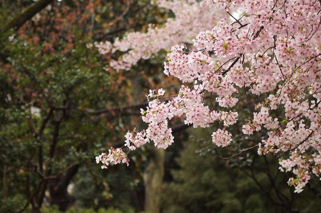 Flor del cerezo en Japón
