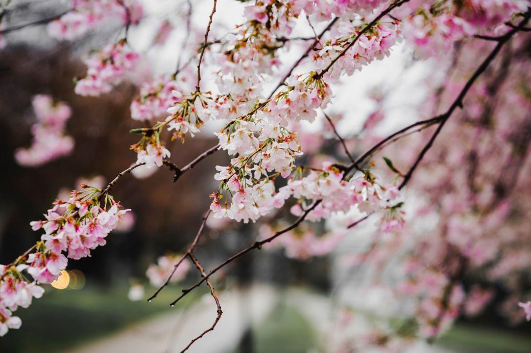 Flor sakura Japón Extranjeros durante el Periodo Edo