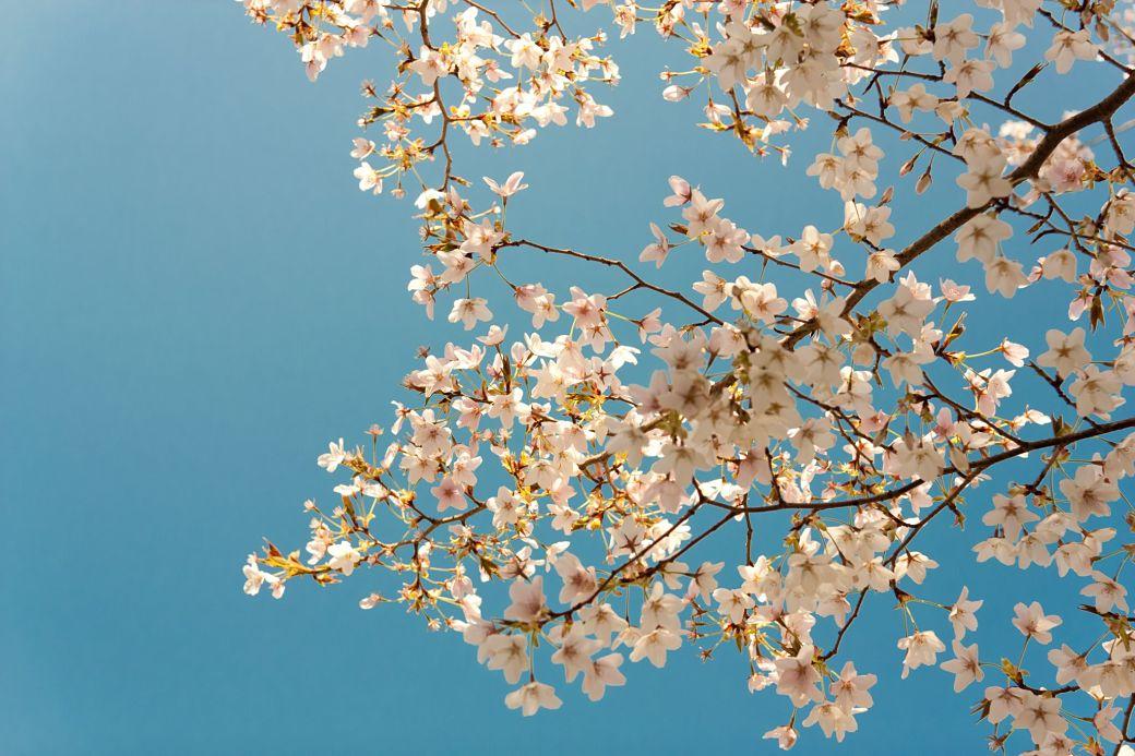 Flor del cerezo o sakura