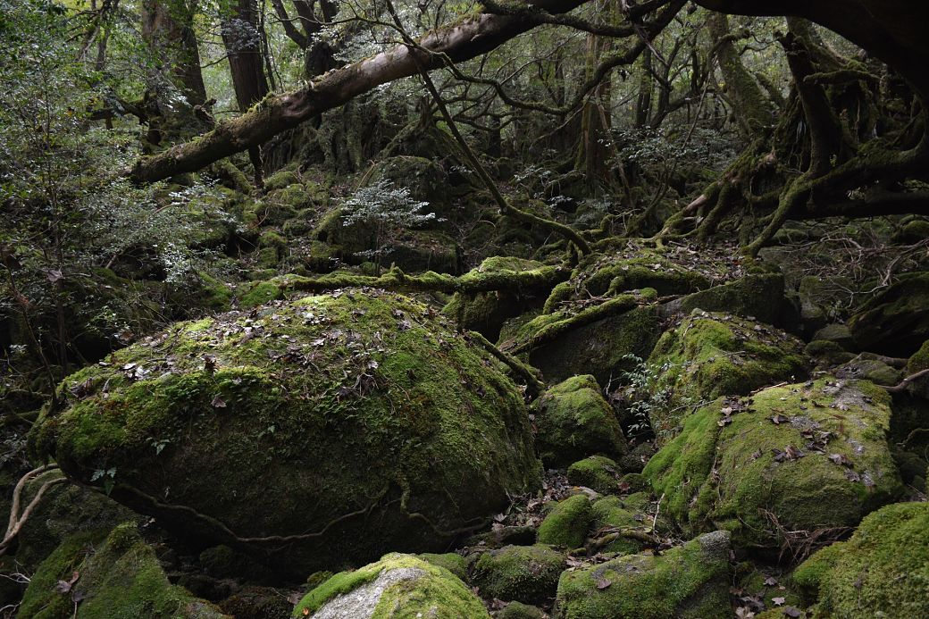 Bosque de cedros isla de Yakushima