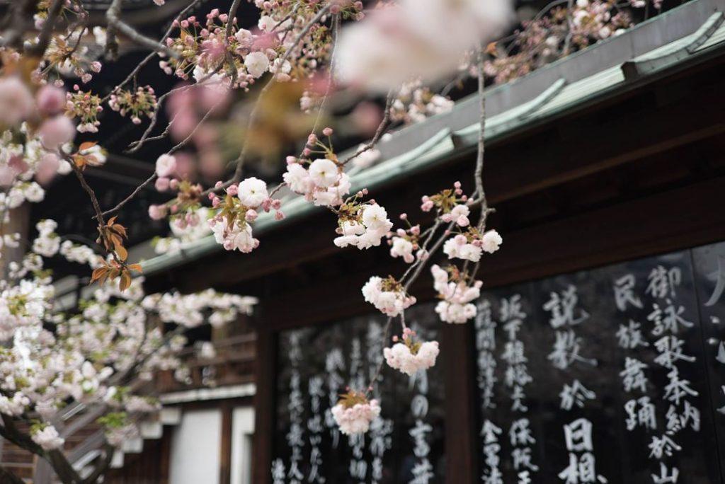 Flor de sakura con kanji de fondo y escritura en lengua japonesa