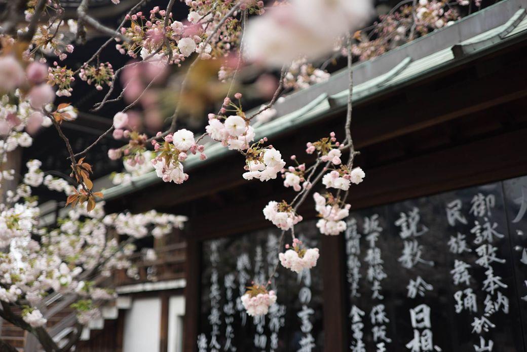 Flor de sakura con kanji de fondo