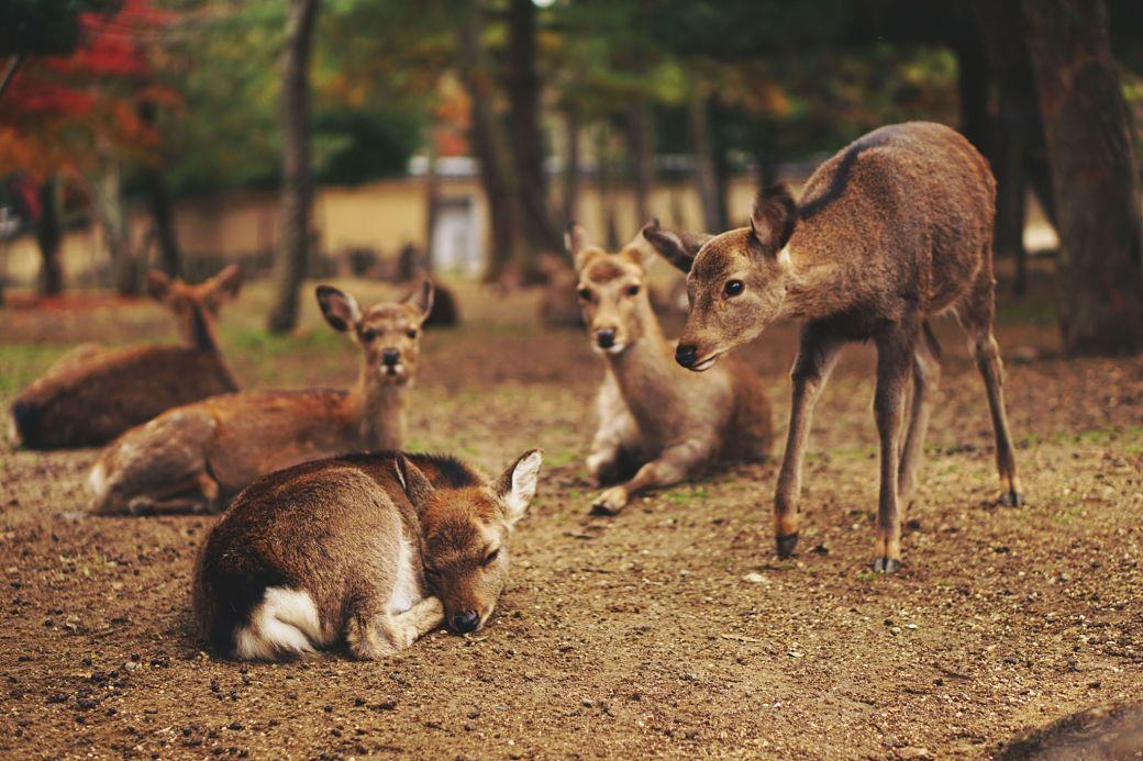Qué visitarenNara por primera vez, ciervos