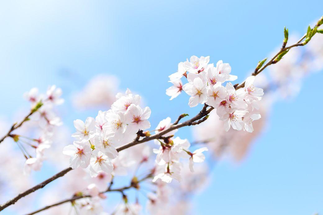Qué visitar en Japón por primera vez, festividad del hanami
