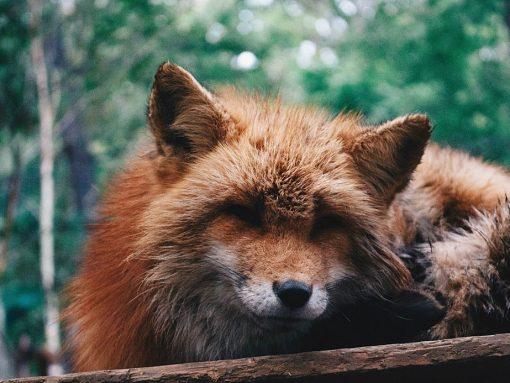 El zorro japonés