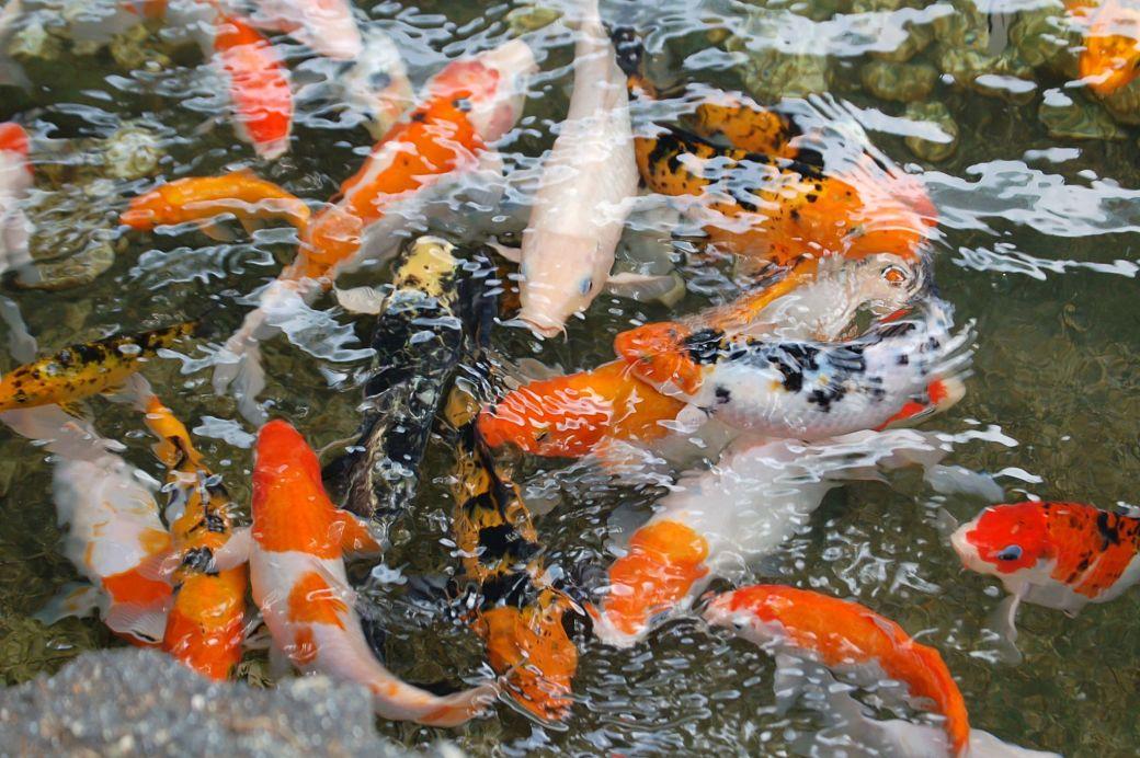 Carpas en estanque de Japón