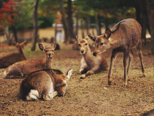 Manada ciervo japonés en Nara