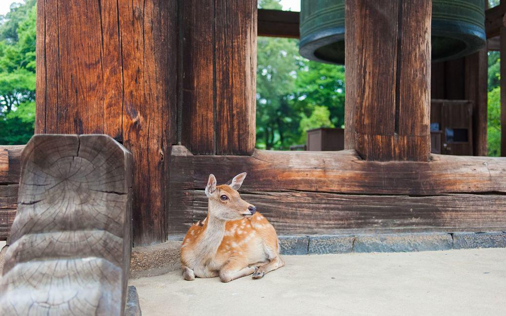 Ciervo japonés en santuario de Nara, Japón