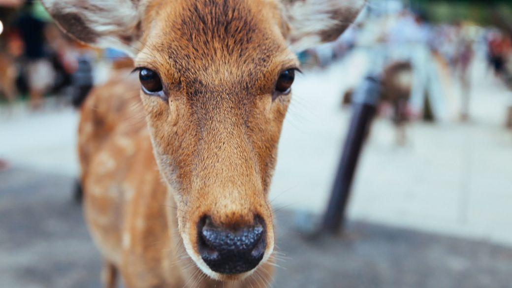 Ciervo japonés en el parque de Nara