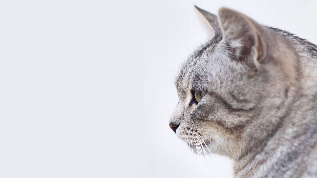 Foto de un gato con pelaje gris