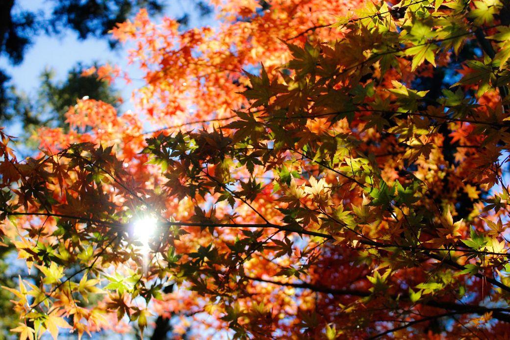 Colores rojizos hojas en Japón