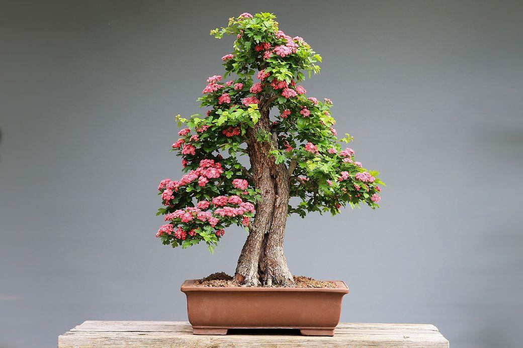 Cultivo del bonsái japonés