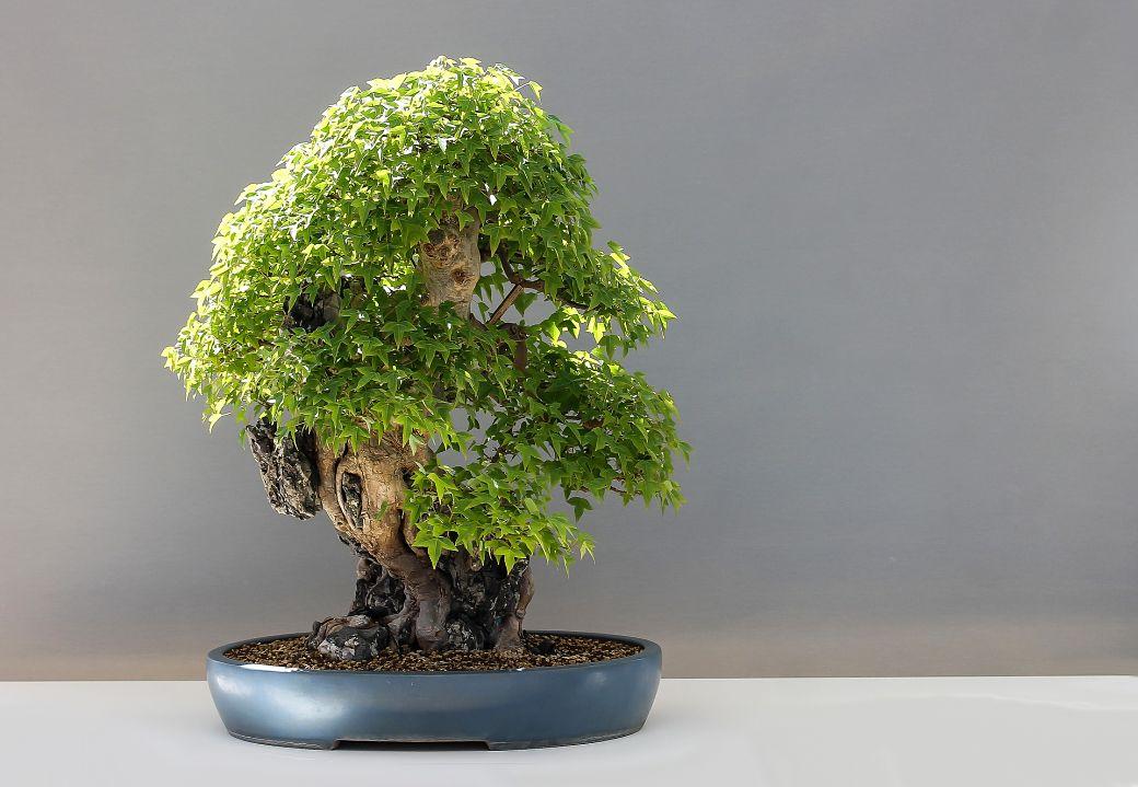 Pequeño bonsái japonés de hojas verdes