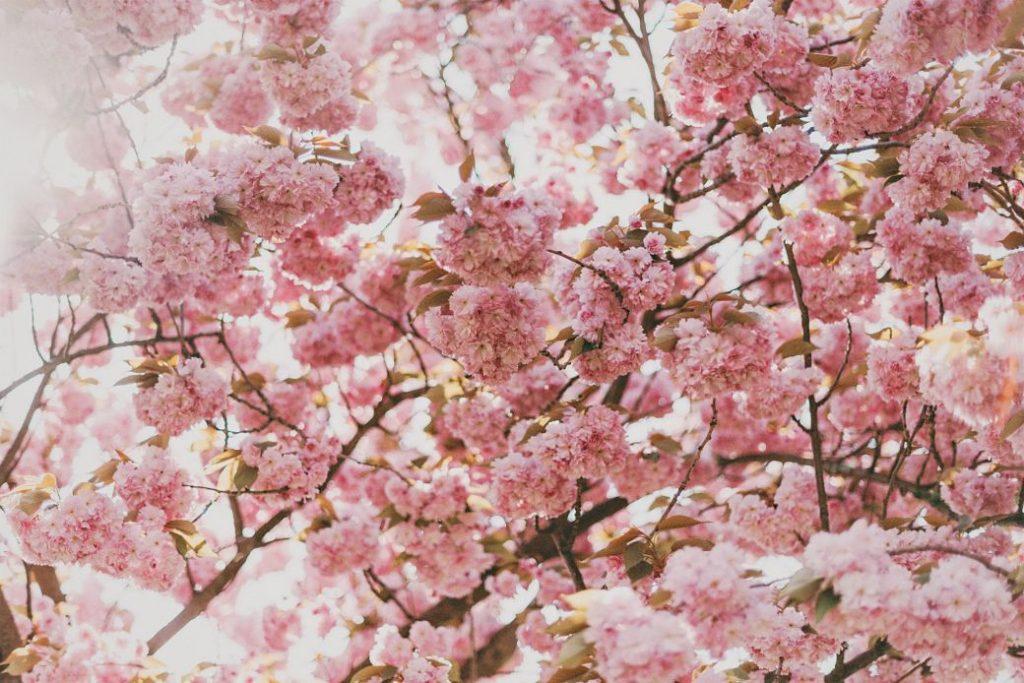 Flores de sakura en Japón