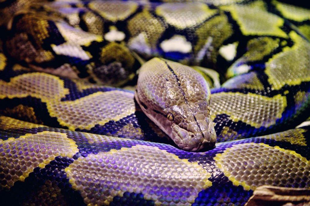 Serpiente de manchas