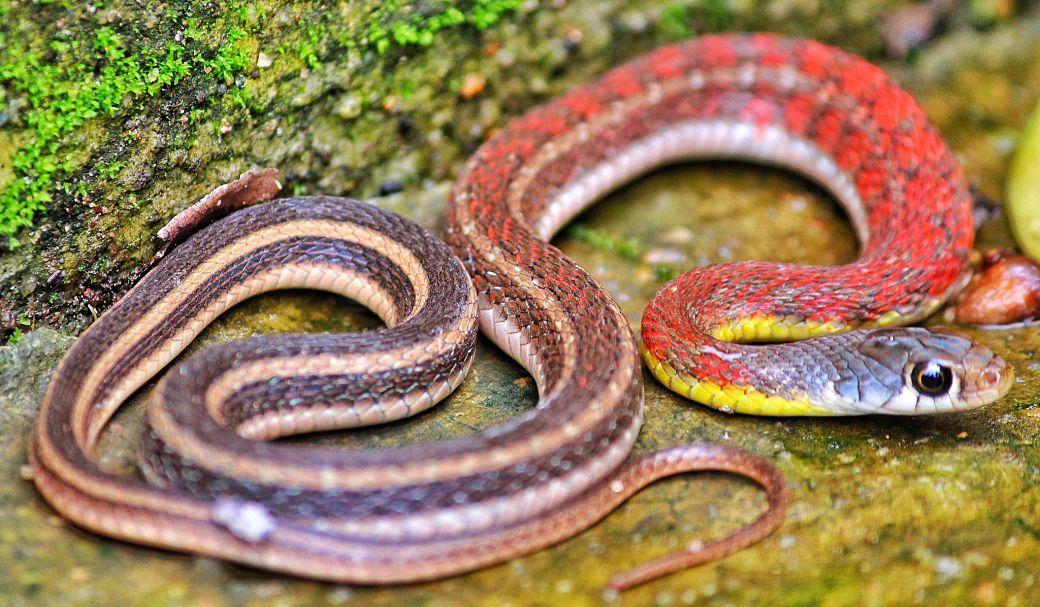 Serpiente de color rojo