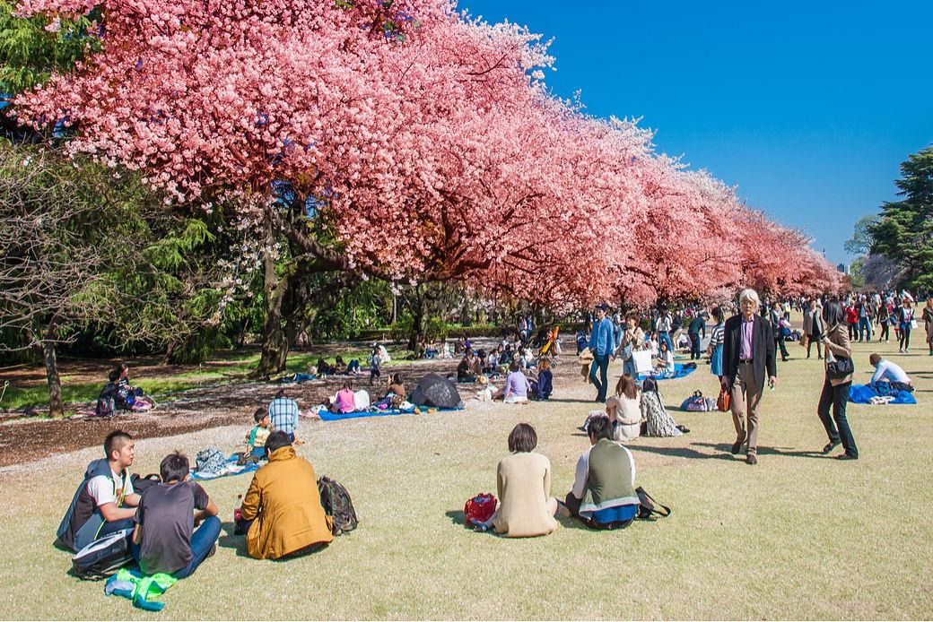 Japoneses debajo de arbol de Sakura florecido