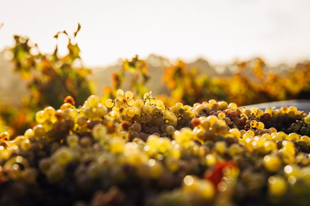 Imagen cosecha de la uva