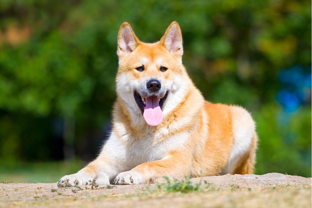 Ejemplar del perro japonés Akita Inu