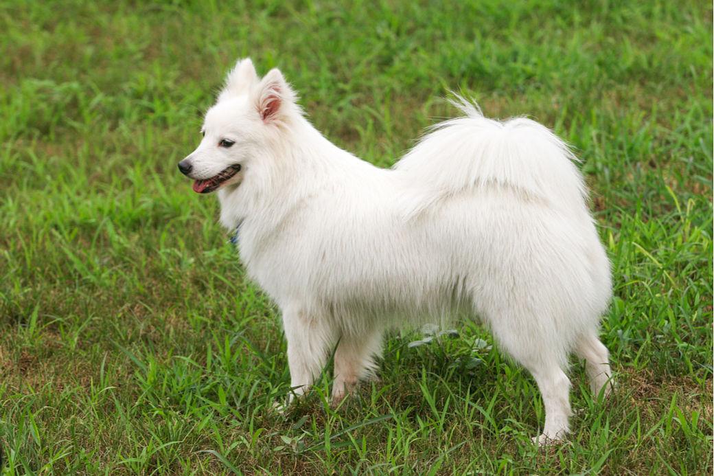 Perro japonés Spitz de color blanco